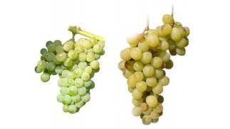 Granada Gourmet 2019 Cata principales uvas  blanca españolas Moscatel, viura, palomino y albariño