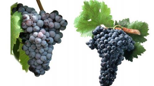 Granada Gourmet 2019 Cata principales  uvas tintas: Tempranillo, Garnacha, Mencia, Monastrell